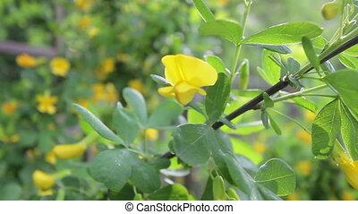 Siberian peashrub - caragana arborescens