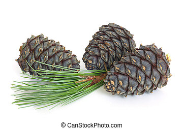 Siberian pine branch with cones