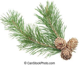 siberian pine cones
