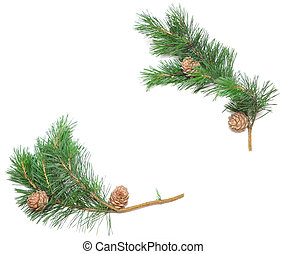 siberian pine cones with branch isolated on white