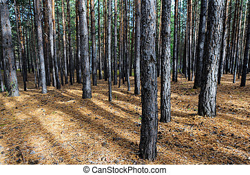 Siberian Pine Tree Forest