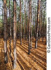 Siberian Pine Tree Forest