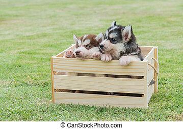 Siberian puppy in wooden box