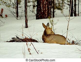 Siberian roe deer