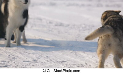 Siberian sled dogs play with each other on the winter...