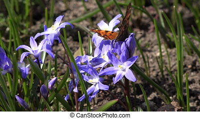 siberian squill flower with butterfly in natural spring...