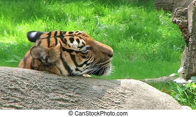 Siberian Tiger Close-up