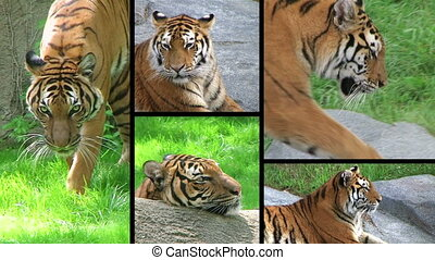 Exotic siberian tiger montage.