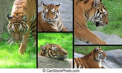 Siberian Tiger Composite - Exotic siberian tiger montage.