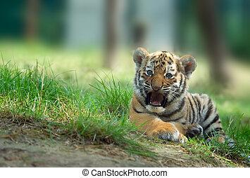 Siberian tiger cub - cute siberian tiger cub (Tiger Panthera...