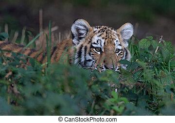 Siberian Tiger Cub (Panthera tigris altaica) - Siberian...