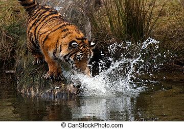 Siberian Tiger cub - Cute Siberian tiger cub trying to catch...