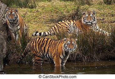 Siberian Tiger cubs - three cute Siberian tiger cubs looking...