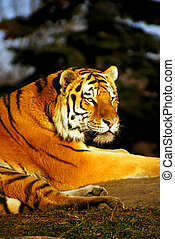 Endangered Siberian Tiger relaxes as sun goes down