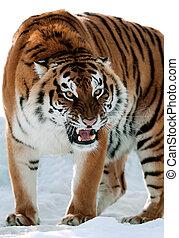 Siberian Tiger Growling - The Siberian tiger (Panthera...
