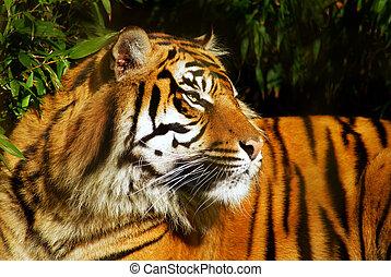 Siberian Tiger in a natural environment.