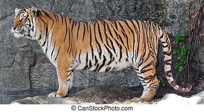 Siberian Tiger in a zoo  - Siberian Tiger in a zoo