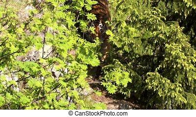 Siberian Tiger in summer