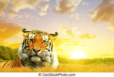 Siberian Tiger in the sunset.