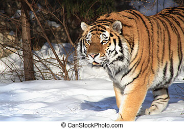 Siberian Tiger In Winter Forest - Closeup of nice siberian...