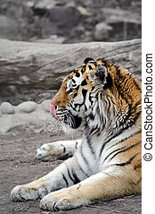 Siberian tiger lying on a ground, licking his nose, relaxing