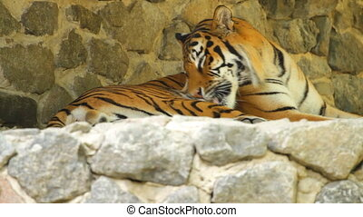 Siberian Tiger lying on the stones