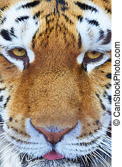 siberian tiger male portrait