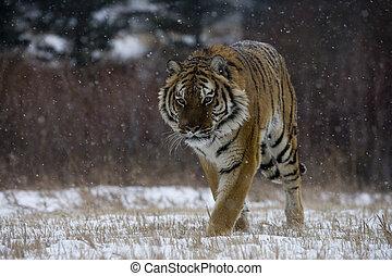 Siberian tiger, Panthera tigris altaica, single cat in snow,...