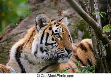 Siberian tiger panthera tigris altaica in zoo