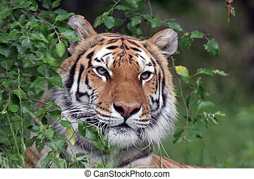 Siberian tiger portrait peering around a bush.