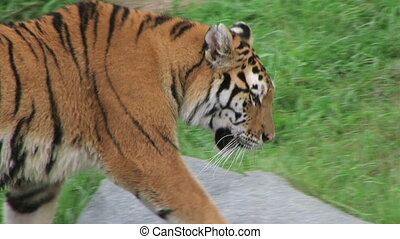 Siberian Tiger Prowling - Close-up of siberian tiger...