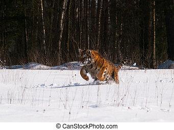 Siberian tiger running in the snow - Panthera tigris altaica...