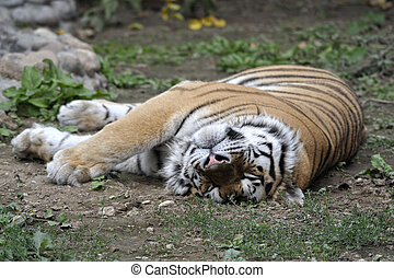 Siberian tiger sleping on a grass