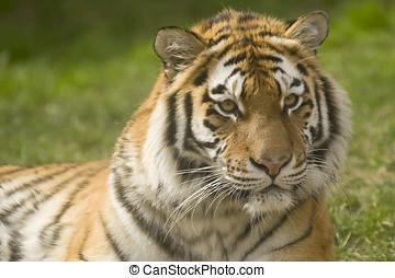 Siberian Tiger - Closeup of Siberian tiger (Panthera tigris...