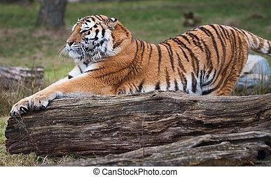 Siberian tiger stretching (Panthera tigris altaica)