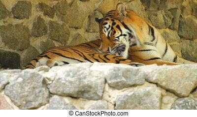 Siberian Tiger lying on the stones
