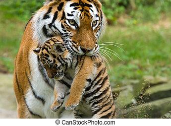 Siberian tiger with cub