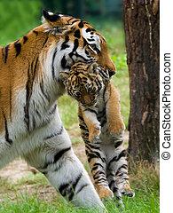 Siberian tiger with cub - Siberian tiger (Tiger Panthera...