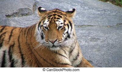 Siberian Tiger Yawning - Close-up of Siberian Tiger yawning....