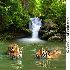 Siberian Tigers in water