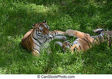 Siberian Tigers Relaxing In A Meadow
