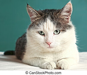 cat close up portrait on blue wall background