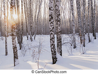 winter birch tree forest