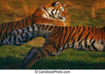 siberiano, corriente, tigres, dos