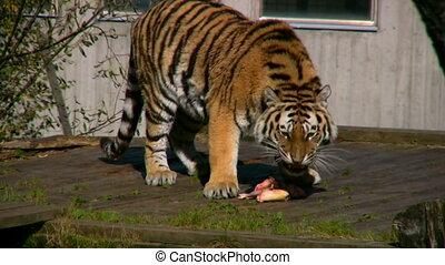 siberische tijger, eten, vlees