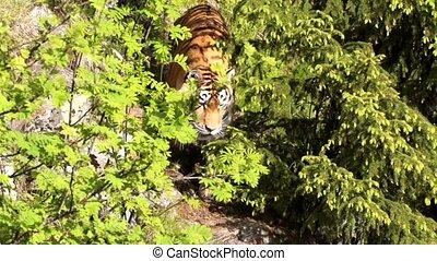 siberische tijger, in, zomer