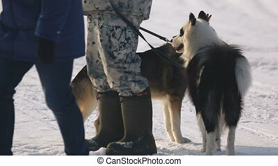 sibirisch, clipart kinderschlitten, hunden