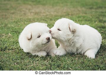 sibirisch, heiser, grün, hundebabys, küssende, gras
