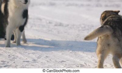 sibirisch, sled hunde