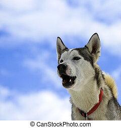 sibirischer schlittenhund, hund bellen